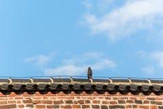 Duif die op het dak rusten stock foto's
