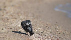 Duif die op het zand dichtbij het overzees lopen stock footage