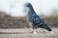 duif die in stedelijk park lopen royalty-vrije stock foto's