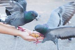 Duif die van vrouwenhand eten op het park stock fotografie