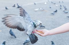Duif die van vrouwenhand eten op het park royalty-vrije stock fotografie