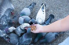 Duif die van vrouwenhand eten op het park, voedende duiven in het park royalty-vrije stock foto