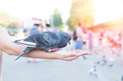 Duif die van vrouwenhand eten op het park, voedende duiven in het park royalty-vrije stock fotografie