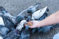 Duif die van vrouwenhand eten op het park, voedende duiven in het park royalty-vrije stock foto's