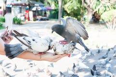 Duif die van vrouwenhand eten op het park, voedende duiven in het park in de dagtijd royalty-vrije stock fotografie