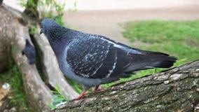 Duif die zich op een boomtak bevinden die uit voor voedsel en bovenkant op het groene gras kijken stock videobeelden