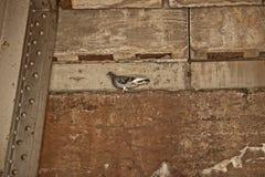 Duif die zich op Muur onder Brug bevinden Stock Afbeeldingen