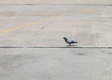 Duif, duifvogel op grond royalty-vrije stock fotografie