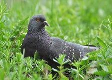 duif in een gras Royalty-vrije Stock Fotografie