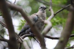 Duif & x28; Europees-Aziatische collared dove& x29; stock afbeeldingen