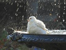 Duif in fontein die vogelbad hebben stock foto's
