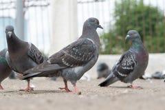Duif-gekleurde duif royalty-vrije stock foto's