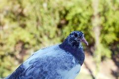 Duif-gekleurde duif Stock Foto's