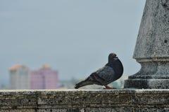 Duif in Havana royalty-vrije stock foto