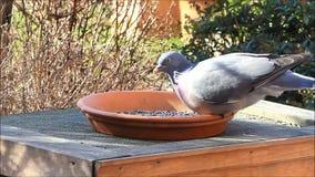 duif, houten duif, tuin, het voeden plaats, vogelvoedsel, de winter, de lente stock videobeelden