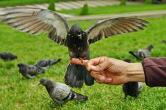 Duif met vleugels brede open stock foto