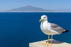 Duif naast het overzees Grijze en witte duif die over rug letten op Royalty-vrije Stock Fotografie