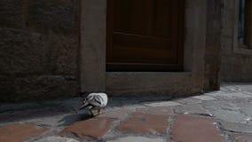 Duif op de stenen van de oude straat duif in de stralen van zonlicht
