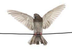 Duif op een elektrische draad met zijn uitgespreide die vleugels wordt neergestreken Stock Foto's