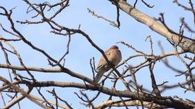 Duif op een tak van een boom stock footage