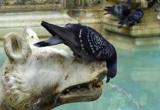 Duif op fontein Stock Afbeelding