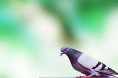 Pigeon duif Stock Photos