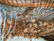 Duif, rola, duifdiamant in kooi wordt opgesloten die royalty-vrije stock foto
