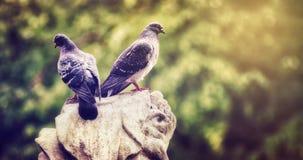 Duif twee op een rots stock fotografie