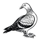 Duif, vectorhand getrokken illustratie Royalty-vrije Stock Foto