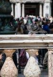 Duif, Venetië, Italië Stock Foto's