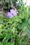 Duif-voet kraan-Rekening of Dovesfoot-Geranium (geranium molle) Stock Afbeeldingen