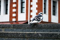 Duif Vrije witte duif die langs straat lopen Stock Afbeeldingen