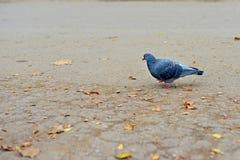 Duif Vrije witte duif die langs straat lopen VIP duif Één Duif Belangrijke duif Ernstige duif Duif onder zonlicht Duif in park W Royalty-vrije Stock Afbeelding