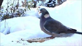 Duifduif die vogelzaad in sneeuw eten stock footage