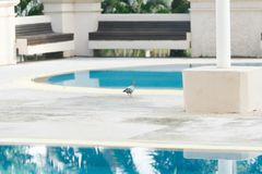 Duifvogel die naast zwembaddag lopen royalty-vrije stock foto's
