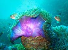Duikend Koh Tao Purple Sea Anemone Stock Afbeeldingen