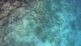 Duikend op het Rode Overzees, indrukwekkende types van een verbazend koraalrif stock videobeelden
