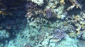 Duikend op het Rode Overzees, indrukwekkende types van een verbazend koraalrif stock footage
