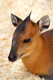 Duiker Royalty Free Stock Image