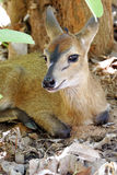 Duiker Royalty Free Stock Images