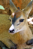 Duiker. Young african antelope, duiker staring in the camera Stock Photography
