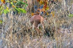 Duiker (Afrique du Sud) Photographie stock libre de droits