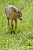 Duiker antelope Royalty Free Stock Photos