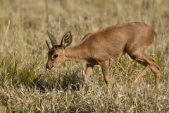 Duiker antelope walking through dry grass Royalty Free Stock Photography
