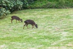 Duiker azul Buck Animals de la fauna imagen de archivo