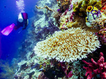 Duiker bij de koralen Royalty-vrije Stock Afbeeldingen