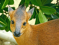 Duiker. Close Up Detail Of Small West African Antelope Stock Images