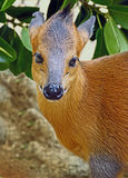 Duiker. Close Up Detail Of Small West African Antelope Stock Image