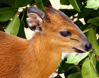 Duiker. Close Up Detail Of Small West African Antelope Royalty Free Stock Photos