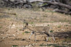 Duiker común en el parque nacional de Kruger, Suráfrica imagen de archivo